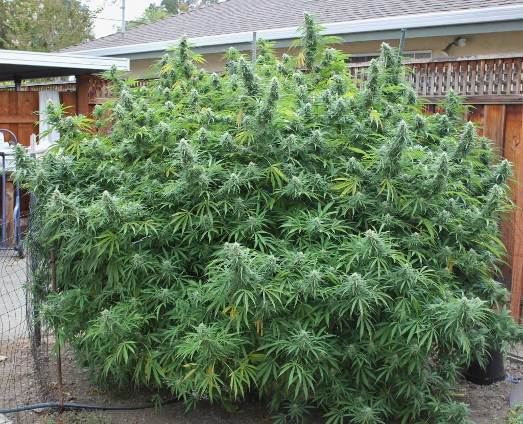 Manipuri landrace strain, seeds available at The Real Seed Company