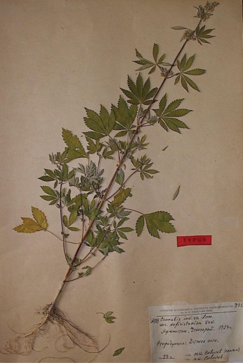 Cannabis sativa subsp. indica var. asperrima
